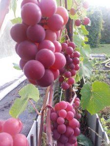 Гуна. Универсальный сорт винограда. Срок созревания 115-120 дней. Кусты большой силы роста. Грозди мелкие 70-150 г, средней плотности, цилиндрические. Цветок винограда функционально женский. Ягоды весом 4-5г, слабо овальные или округлые, темно-розового цвета. Мякоть слизистая, приятная, со слабым изабельным вкусом. Ягода долго находится на кусте без потери вкуса. Нагрузка на куст 30-40 глазков. Обрезка побега плодоношения на 4-12 глазков. Пригоден для использования в свежем виде и приготовления вина. Сорт Гуна рекомендуется для беседочной культуры.