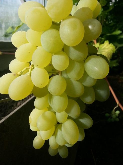 Выращивание южных сортов винограда