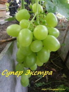 Выращивание южных сортов винограда в условиях Сибири и Урала