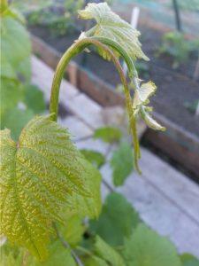 Удаление побегов и нормирование урожая после цветения
